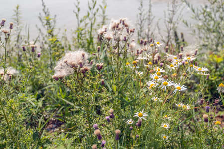 Blooming and overblown wild plants such as thistles and chamomile at the water's edge on a sunny day early in the summer season. Standard-Bild