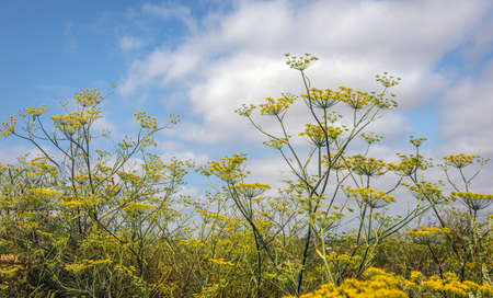 Dill plants flower yellow against a blue sky with some white clouds. The photo was taken at a summer day in a Dutch field in the province of North Brabant. Standard-Bild