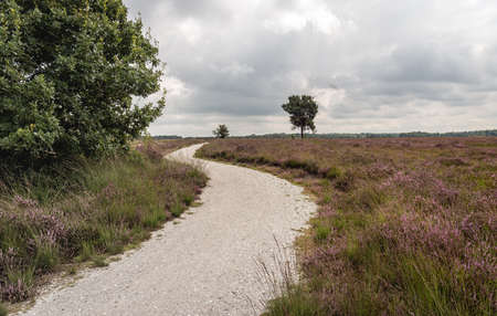 Meandering path through a Dutch heath landscape in the province of North Brabant. The heather is in bloom now. It's a cloudy day in the summer season. Standard-Bild