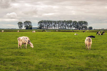 Grazing and ruminating black-and-white cows in a Dutch polder landscape. The photo was taken in the province of North Brabant on a cloudy day in the summer season.