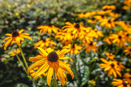 Closeup of a yellow blooming coneflower in the morning sunlight. A small spider is visible in the brown center of the flower in the foreground.