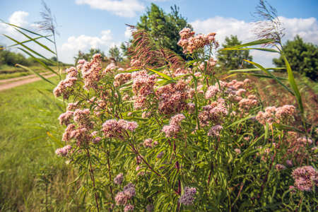 Closeup of mauve colored flowering hemp-agrimony plants among flowering reed plants in a Dutch nature reserve. It's a sunny day in the summer season.