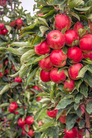 Lots of ripe red apples growing on the standard apple tree in a Dutch apple orchard. It's almost fall now. Standard-Bild