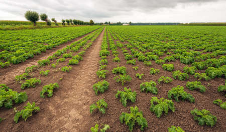 Large Dutch field with curly bare plants in long rows. It's a cloudy day in the summer season. The bare plants are still small and not fully grown.