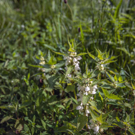 Square image of white flowering dead nettle plants in their own natural habitat. The photo was taken in a Dutch nature reserve at the end of the spring season. Standard-Bild