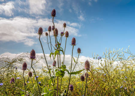 Dutch field margin with varied types of flowering plants to promote biodiversity. The photo shows blue flowering common chicory, soft yellow flowering dill and purple flowering wild teasel plants. Standard-Bild
