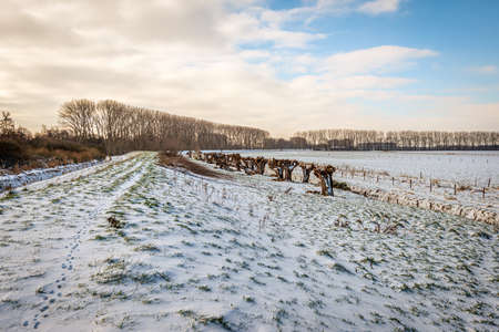 Winter landscape in a Dutch polder. The paw prints of a rabbit are visible in the foreground. A row of pollard willows is in the background. The photo was taken near the village of Drimmelen