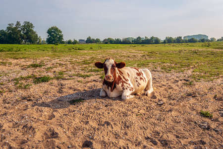 Red-and-white cow is quietly ruminating in the sand of the floodplains of the Dutch river Waal in the province of Gelderland. It's an early morning at the end of the summer season. Standard-Bild