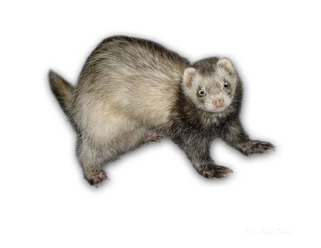 CUTE FERRET ON WHITE BACKGROUND