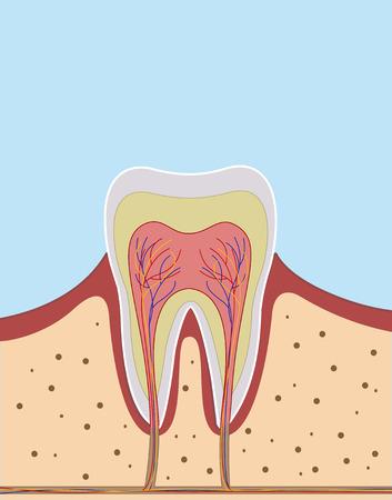 Inside of single tooth illustration. Dentist concept. Vector Illustration