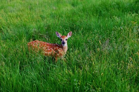 Whitetail Fawn Walking in Green Meadow photo
