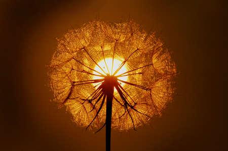 Backlit Dandelion Seed Head