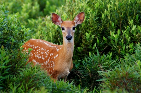 Whitetail Fawn Walking Out of Green Bush