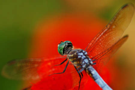 Dragonfly Resting on Red Leave