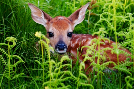 Newborn Whitetail Fawn Resting in Green Fern photo