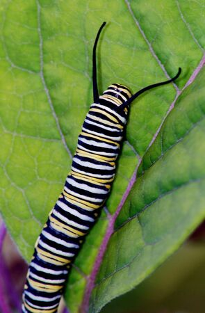 Tiger Butterfly Caterpillar on Green Leave