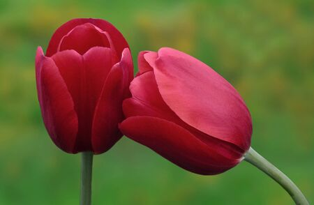 Two Red Tulip Flowers in Spring                               Stock Photo