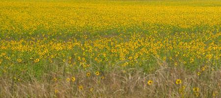 Field of Kansas Native Sunflowers