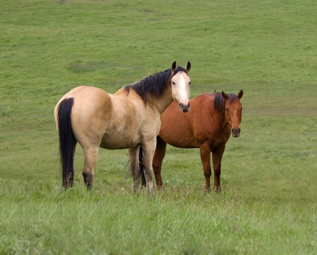 Two Horses in Green Meadow