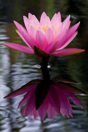 Reflection of Pink Water Lily Flower  Stock Photo