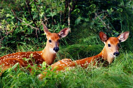 fawn: Two Whitetail Fawn Resting under Bush