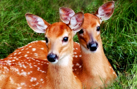 Two Whitetail Fawns Resting