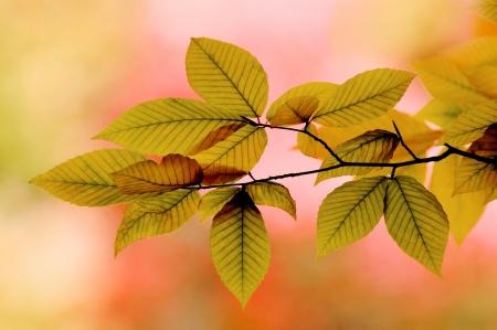 Backlit Elm Leaves in Autumn