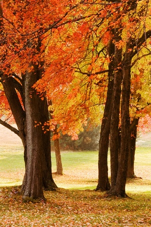 Colorful Autumn Maple Trees in Afternoon