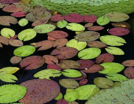 Floating Waterlily Leaves in A Pond