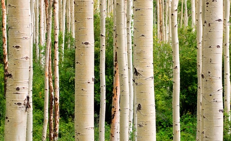 birch: Colorado Aspen Woods in Summer