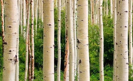 Colorado Aspen Woods in Summer