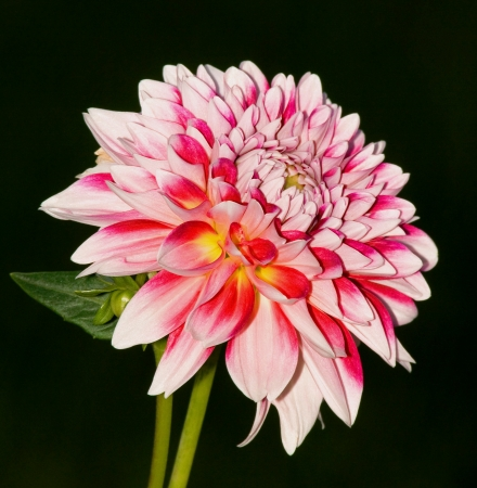 The Blossom of One Pink Dahlia Flower
