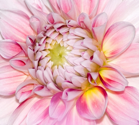 The Details of A Pink Dahlia Flower