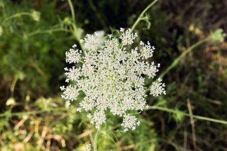 yarrow: Yarrow wild flower organic background