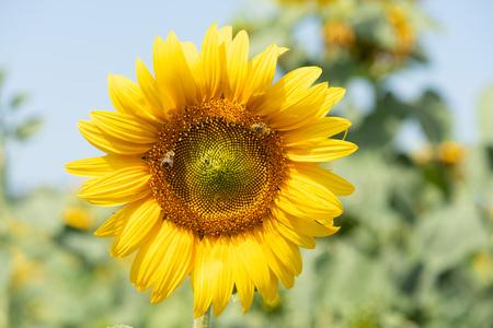 Sunflower with bee macro photo Foto de archivo
