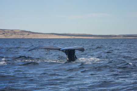A Southern right whale, at Valdes Peninsula  near Puerto Piramides , Argentina