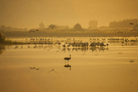 nature reserves of israel: Various birds in Agamon Hula bird refuge on sunrise, Hula Valley, Israel
