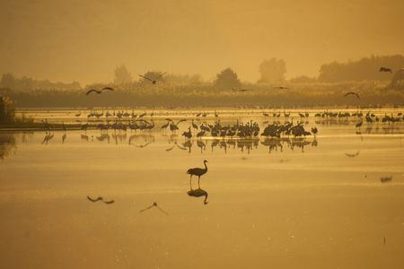 dawning: Various birds in Agamon Hula bird refuge on sunrise, Hula Valley, Israel