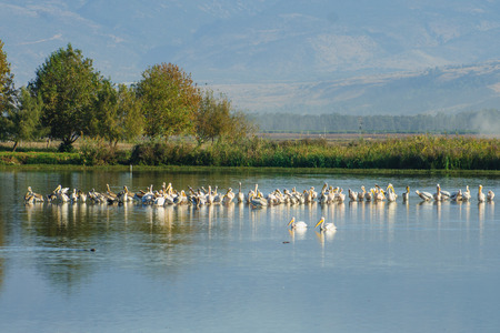 nature reserves of israel: Pelicans and other birds in Agamon Hula bird refuge, Hula Valley, Israel