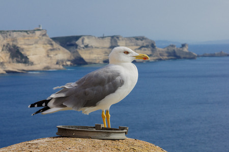 A seagull on the city walls, and the cliffs, in Bonifacio, Corsica, France photo