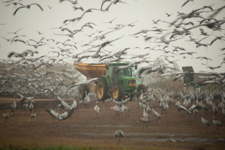 bird of israel: HULA, ISR - JAN 02, 2015: A tractor spreading corn for crane birds, and an observation wagon in Agamon Hula bird refuge, Israel. The feeding goal is to keep the cranes away from the agriculture areas Editorial