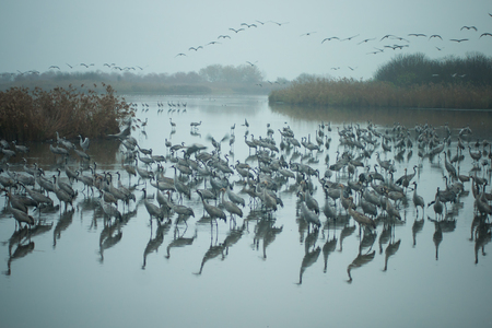 nature reserves of israel: Common crane birds in Agamon Hula bird refuge, Hula Valley, Israel