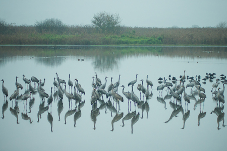 nature reserves of israel: Common crane birds and other birds in Agamon Hula bird refuge, Hula Valley, Israel