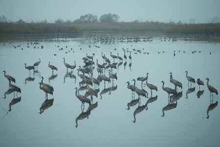 bird of israel: Common crane birds and other birds in Agamon Hula bird refuge, Hula Valley, Israel