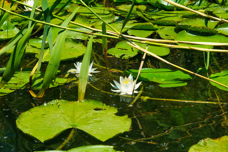 nymphaea odorata: Fragrant Water Lily Nymphaea Odorata flowers in the northern area of Skadar Lake National Park. Montenegro