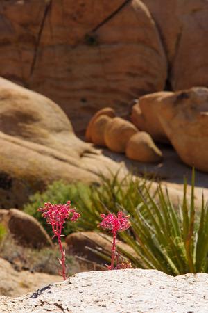joshua: Flowers and rocks in Joshua Tree National Park, California, USA