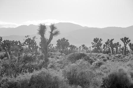 national plant: Desert landscape in Joshua Tree National Park, California, USA