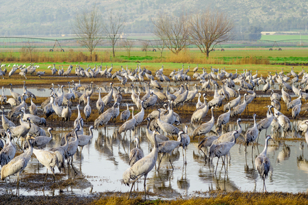 refuge: Common crane birds in Agamon Hula bird refuge, Hula Valley, Israel