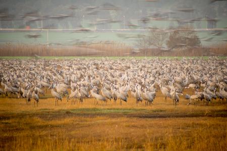 bird of israel: Common crane birds in Agamon Hula bird refuge, at sunrise, with artistic filter, Hula Valley, Israel Stock Photo