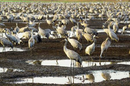 bird of israel: Common crane birds in Agamon Hula bird refuge, Hula Valley, Israel